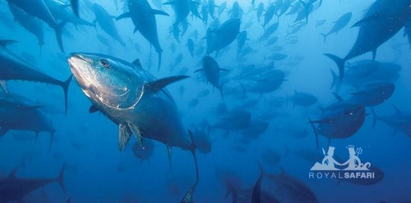 Синий тунец Канада