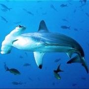 подводные фото акулы