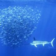 подводные марлины