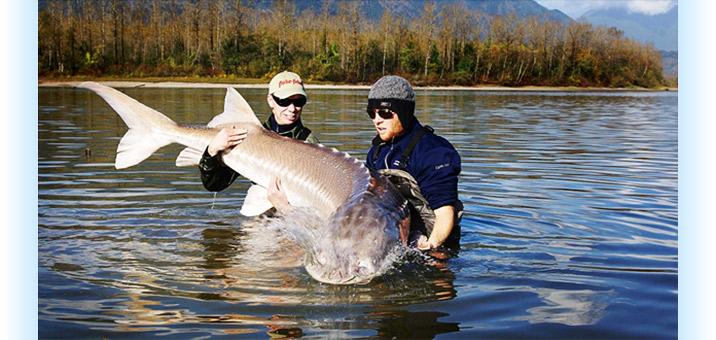ловля осетра на реке или